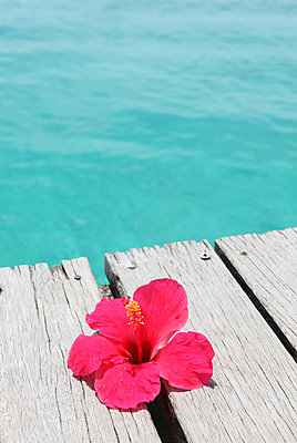 Hibiskusblüte - p045m668526 von Jasmin Sander