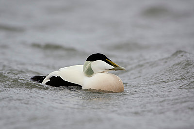 Eider duck, Somateria mollissima - p300m2070449 by Mark Johnson