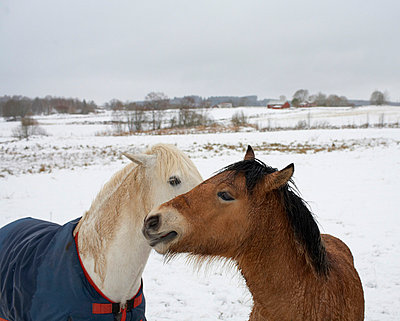 a white and a brown horse, Sweden. - p5754808 by Jan Tove