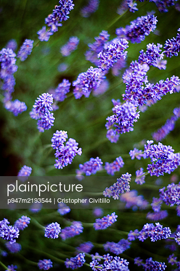 Lavender, close-up - p947m2193544 by Cristopher Civitillo