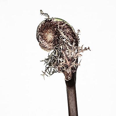 Fern unfurling - p1470m1540397 by julie davenport