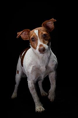 Terrier 02 - p587m1466510 von Spitta + Hellwig