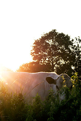 Cow in the evening - p7540112 by Valea Diller-El Khazrajy