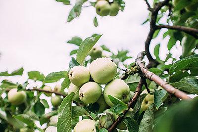 Reife Äpfel am Baum - p586m1068225 von Kniel Synnatzschke