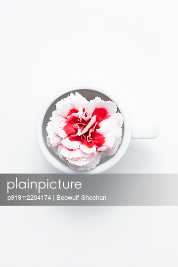 white and red carnation flower in tea/expresso cup with white background - p919m2204174 by Beowulf Sheehan