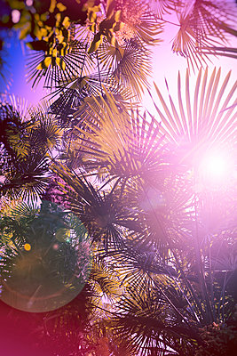 Palm trees in backlight - p1149m1573859 by Yvonne Röder
