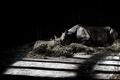 Rhinoceros - p1280m1466762 by Dave Wall