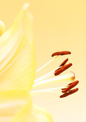Staubgefäße einer gelben Blume, Nahaufnahme - p1280m2167907 von Dave Wall