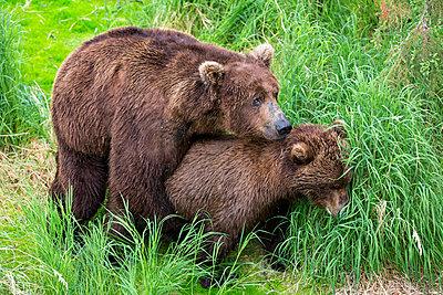 USA, Alaska, Katmai National Park, Brown bears (Ursus arctos) mating - p300m911210f by Fotofeeling