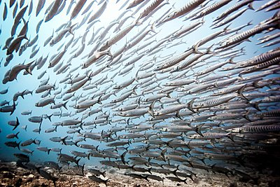 Shoal of swimming Chevron Barracuda (Sphyraena genie), Raja Ampat, West Papua, Indonesia - p429m1062900 by Steve Woods Photography