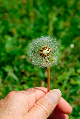 Hand picking dandelion - p6810033 by Sandrine Léon