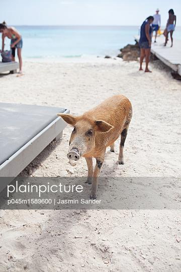 Wildes Schwein läuft am Strand umher - p045m1589600 von Jasmin Sander