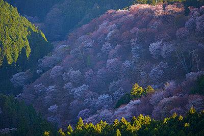 Blooming cherry blossoms at Mount Yoshino, Nara Prefecture, Japan - p307m1495896 by MATSUO.K