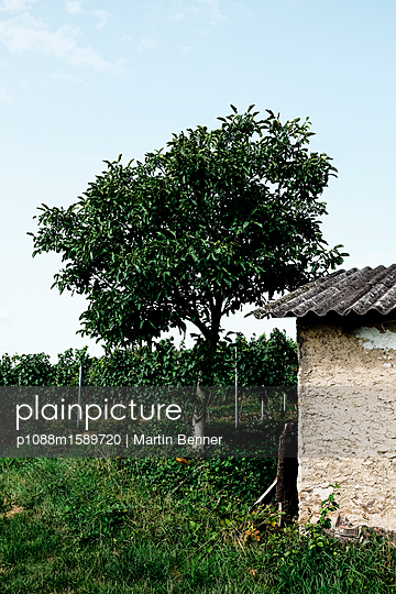 Baum im Weinberg - p1088m1589720 von Martin Benner