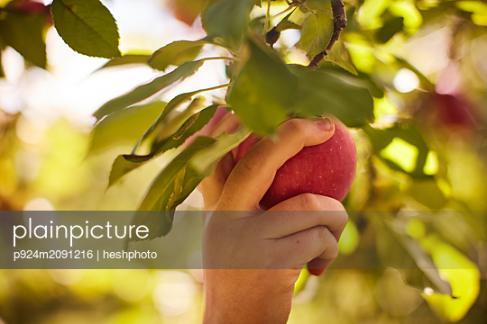 Girl picking apples from tree - p924m2091216 by heshphoto