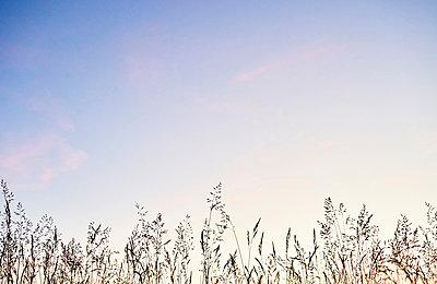 Gräser in einer Wiese in der Dämmerung  - p1312m2116859 von Axel Killian