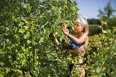 Young woman picking blackcurrants - p312m2079911 by Pernille Tofte