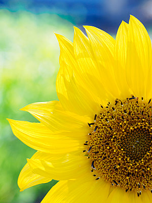 Close-up of sunflower (Helianthus) in bloom - p1427m1553655 by WalkerPod Images