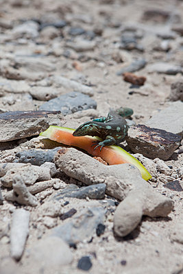 Leguan frisst an einer Wassermelone - p045m2005019 von Jasmin Sander