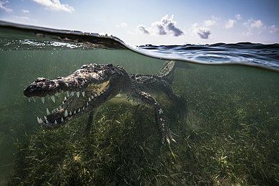 American crocodile (crocodylus acutus) in shallows showing teeth, Chinchorro Banks, Xcalak, Quintana Roo, Mexico - p429m2004486 by Rodrigo Friscione