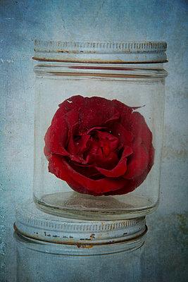 Rote Rose im Einmachglas - p451m1558641 von Anja Weber-Decker