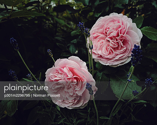 Beautiful pink roses and lavender - p301m2296795 by Norman Posselt