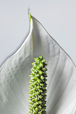Close up of Lily with white petal and green stamens (Lilja med vita kronblad och grön ståndare) - p847m673699 by Björn Abelin
