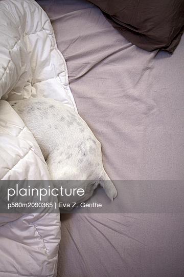 Dog lying in bed - p580m2090365 by Eva Z. Genthe