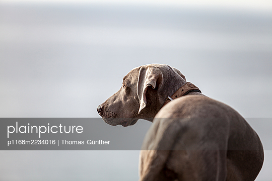 Germany, Weimaraner dog at the Baltic sea - p1168m2234016 by Thomas Günther