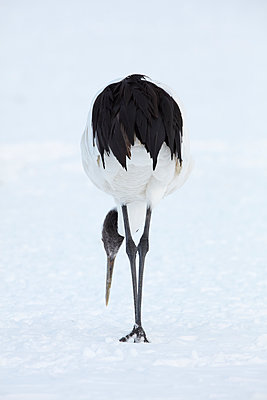 Red-Crowned Cranes, Grus japonensis, standing in the snow in winter. - p1100m1520111 by Mint Images