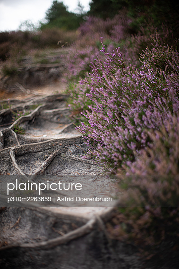 Tree roots and heather - p310m2263859 by Astrid Doerenbruch
