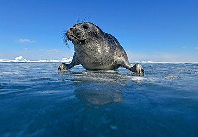 Russia, Lake Baikal, Baikal seal at an ice hole - p300m1052930f by Gerald Nowak
