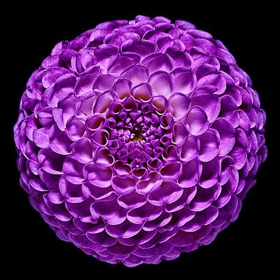 Purple dahlia - p587m2115444 by Spitta + Hellwig