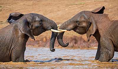 Kenya, Nyeri County, Aberdare National Park. Two African elephants play in a muddy waterhole in the Aberdare National Park. - p652m972080 by Nigel Pavitt