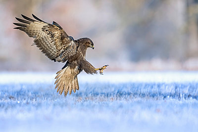 Common Buzzard landing, Saxony-Anhalt, Germany - p884m1509900 by Thomas Hinsche/ BIA