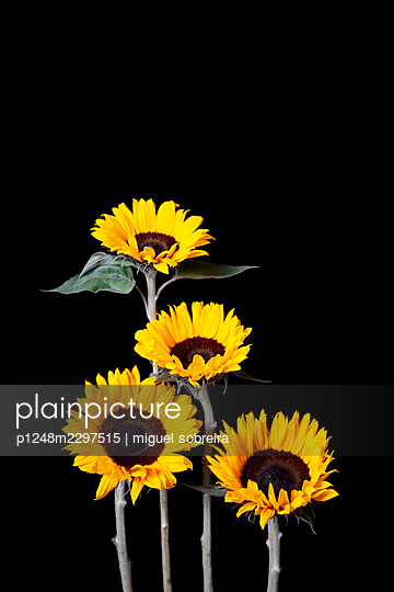 Vertical Sunflowers in front of black background - p1248m2297515 by miguel sobreira