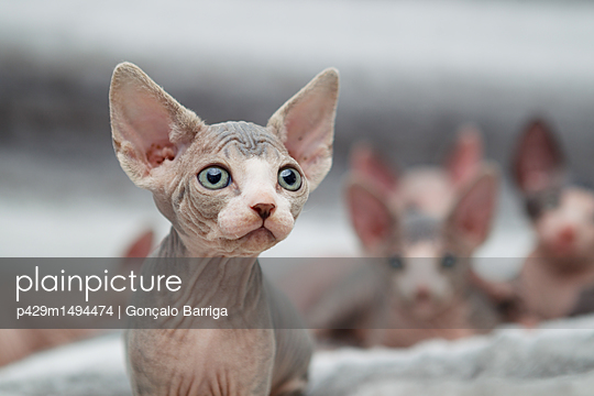 Animal portrait of sphynx cat looking away