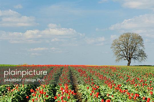 Field of tulips, Wooden Shoe Tulip Farm, Oregon, USA