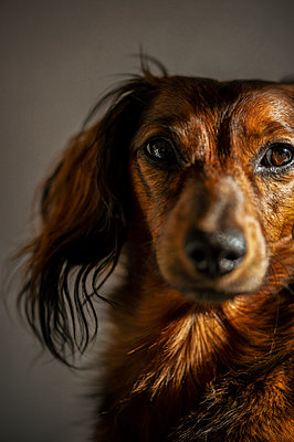 Portrait of long-haired red dachshund - p1047m2134851 by Sally Mundy