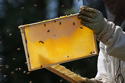 Midsection of beekeeper brushing bees from hive at farm - p301m1070123f by Halfdark