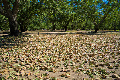 Agriculture- Mature almonds on the orchard floor after being shaken from the trees during harvest, near Ripon, San Joaquin County, California, USA. - p442m936585f by Bill & Brigitte Clough