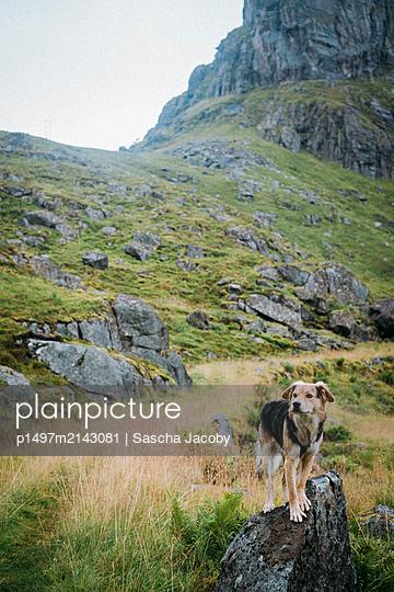Hund steht neugierig auf Felsen im grünen Gebirge in Norwegen - p1497m2143081 von Sascha Jacoby
