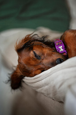 Sleeping red dachshund puppy - p1047m1588815 by Sally Mundy