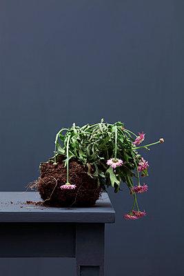 Vernachlässigte Topfpflanze - p237m901195 von Thordis Rüggeberg