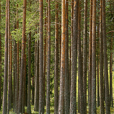 Pine forest, Angermanland, Sweden. - p5754137f by Sven Halling