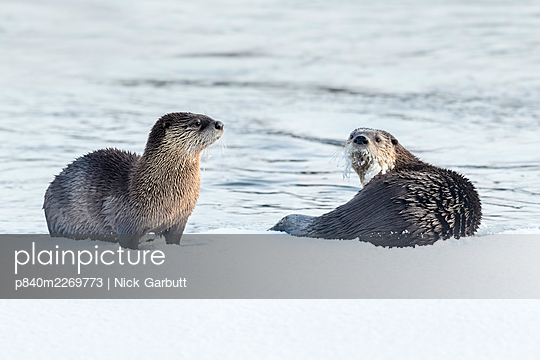 North American river otters (Lutra canadensis) on the frozen river edge. Upper Yellowstone River, Hayden Valley, Yellowstone, USA. January - p840m2269773 by Nick Garbutt