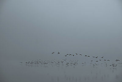 Cormorants in the autumn mist - p739m2039106 by Baertels
