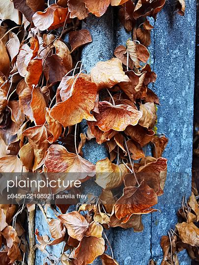 Ivy, autumn leaves - p945m2219892 by aurelia frey