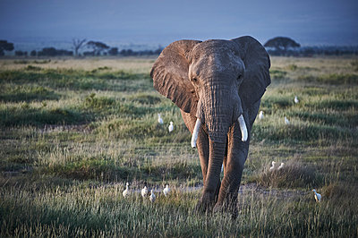 Single elephant, Kenya - p706m2158421 by Markus Tollhopf