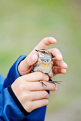 View of person hands holding bird - p312m1551945 by Johner Images
